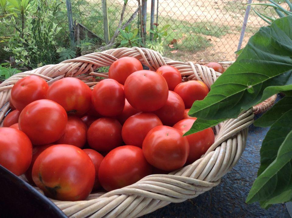 axa 2016 rainbo tomatoes